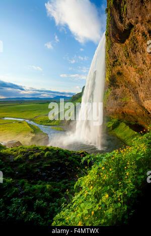 Renoncules accanto a 60m-alta cascata Seljalandsfoss, Sudhurland, Islanda. Foto Stock