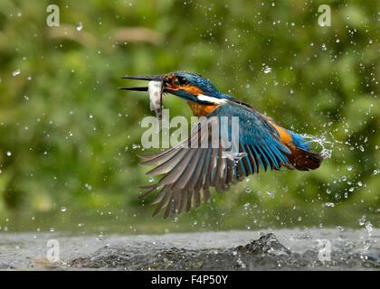 Kingfisher Foto Stock