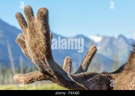 Sguardo più da vicino a corna di alce davanti a una catena montuosa vicino a Anchorage in Alaska,