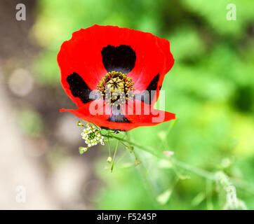 """Una chiusura di una coccinella Papavero (Papaver commutatum) """"coccinella' Fiore Foto Stock"""