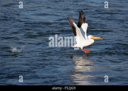 Americano bianco Pellicano (Pelecanus erythrorhynchos) prendendo il largo dal Fiume Saskatchewan Foto Stock