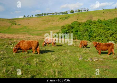 Highland il pascolo di bestiame su open brughiera. Foto Stock