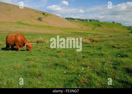 Highland mucca pascolare su aprire la brughiera. Foto Stock