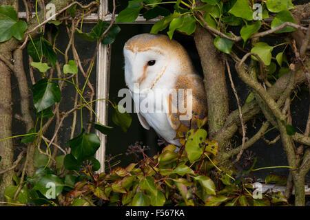 Barbagianni; Tyto alba singolo in coperta da edera finestra Cornwall, Regno Unito Foto Stock