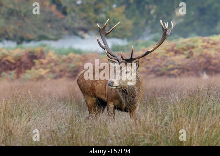 Red Deer stag in piedi l'erba alta. Foto Stock