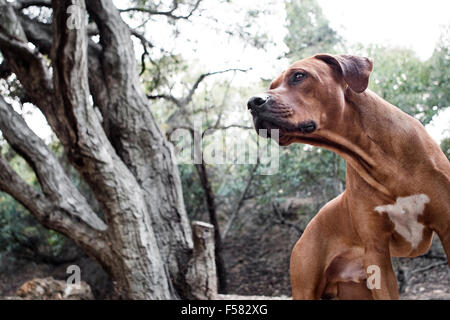 Il grassetto e il potente ritratto del maschio adulto Ridgeback rhodesiano cane in natura guardando al di fuori della fotocamera con bellissimi alberi in background