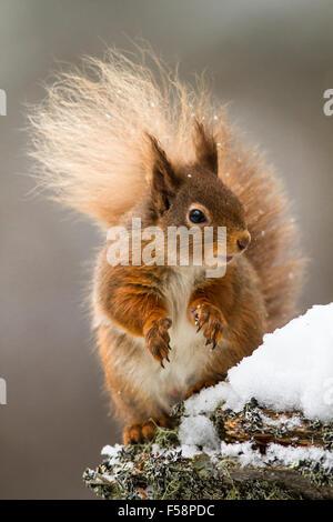 Scoiattolo rosso nella neve Foto Stock