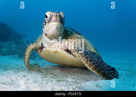 Tartaruga Verde (Chelonia Mydas) appoggiato sul fondale sabbioso, della Grande Barriera Corallina, Sito Patrimonio Foto Stock