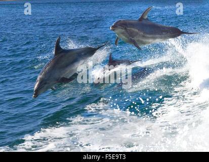 Pod di giocosi delfini tursiopi che si riversano nella regione giocando sulle barche a poppa risvegliano nella Baia delle Isole, Northland, Nuova Zelanda