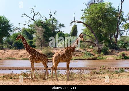 Giraffa reticolata o somala (giraffe Giraffa camelopardalis reticulata) che corre lungo il fiume, Samburu riserva Foto Stock