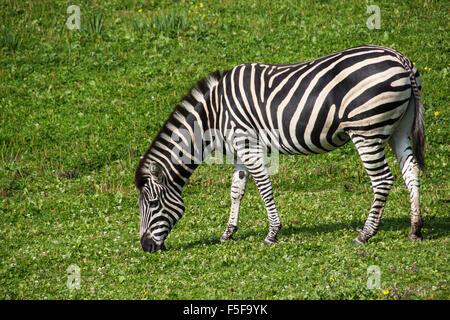 Chapman's Zebra di pascolare su erba