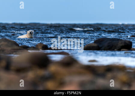 Orso polare per adulti (Ursus maritimus) rilassante in acqua di mare Churchill, Manitoba, Canada Foto Stock