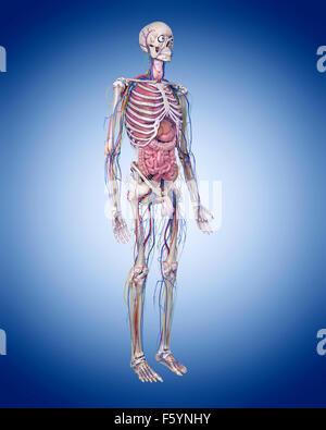 Dal punto di vista medico illustrazione accurata dell'anatomia umana Foto Stock