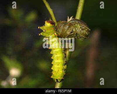 prickly caterpillar in uno stabilimento. Falena lunare indiana o falena lunare indiana, Actias selene. bruco spinoso Foto Stock