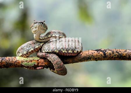 Adulto di ciglia velenosi Palm-Pitviper (Bothriechis schlegelii), Viper famiglia (dai Viperidi), Chocó foresta pluviale, Foto Stock