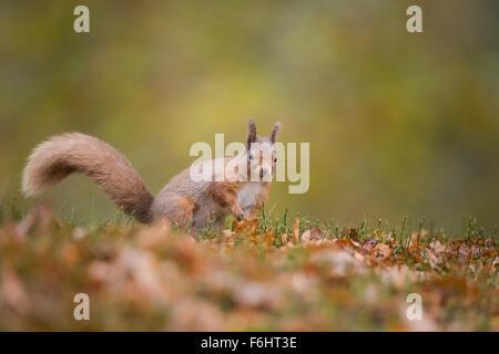 Red scoiattolo (Sciurus vulgaris) in una foresta nel parco nazionale di Cairngorms, Scozia. Foto Stock