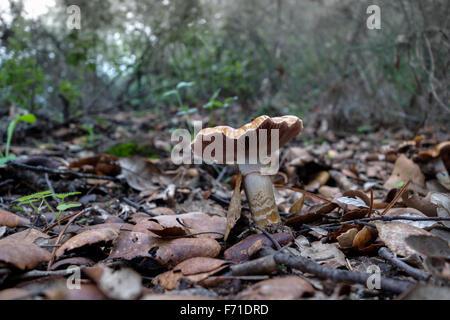 Cinto Webcap, Cortinarius trivialis, fungo, toadstool nella foresta Spagna Foto Stock