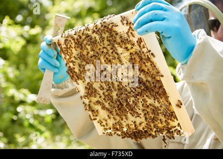 Un apicoltore tenendo un alveare di legno ricoperta di telaio di api. Foto Stock