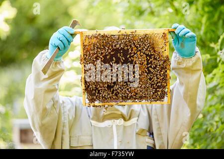 Un apicoltore con guanti blu con in mano una super o telaio pieno di miele coperti di api. Foto Stock