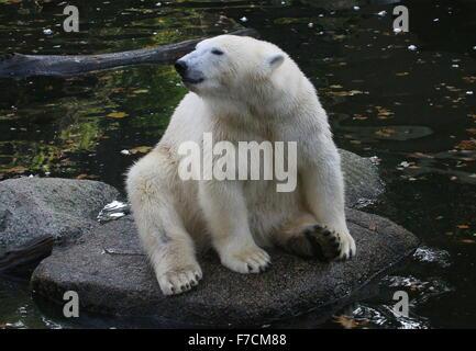 Coppia di orso polare (Ursus maritimus) appoggiato vicino al bordo dell'acqua Foto Stock