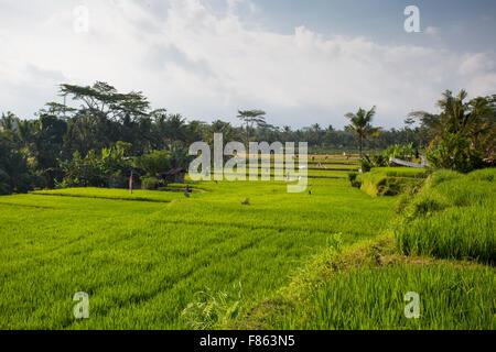 Le colture di campi di riso in un caldo pomeriggio di sole nei pressi di Ubud, Bali, Indonesia Foto Stock