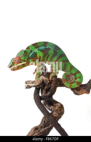 Chameleon Foto Stock