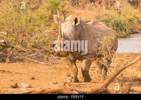 Rinoceronte bianco (Ceratotherium simum) in madikwe game reserve Foto Stock