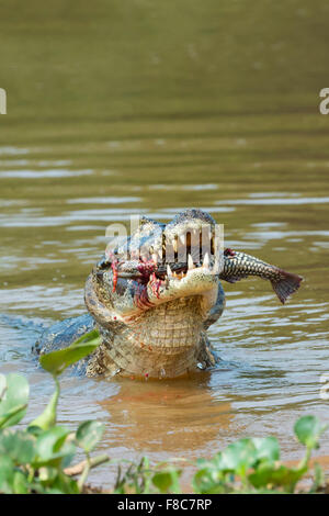 Caimano Yacare (yacare Caimano) divorando un pesce, Cuiaba river, Pantanal, Brasile Foto Stock