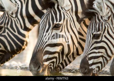 La Burchell zebra (Equus quagga burchellii) - Andersson's Camp - vicino a Parco Nazionale Etosha - Namibia, Africa Foto Stock
