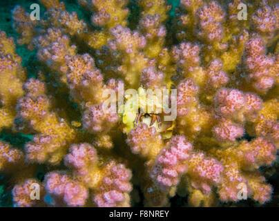 Piccolo granchio eremita, Calcinus spec., in un lampone corallo, Pocillopora, dal Mar Rosso, Egitto. Foto Stock