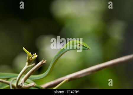 Il Vitigno comune Snake (Ahaetulla nasuta), è una sottile albero verde serpente trovato in India