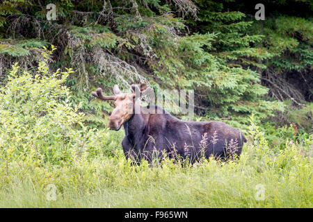 Toro giovane Alce (Alces alces) con corna di velluto, Algonquin Provincial Park, Ontario, Canada
