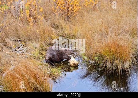 """Un wild beaver """"Castor canadenis', guardando verso l'alto dalla struttura ad albero che egli è stato alimentazione su in una zona appartata con alte autunno Foto Stock"""