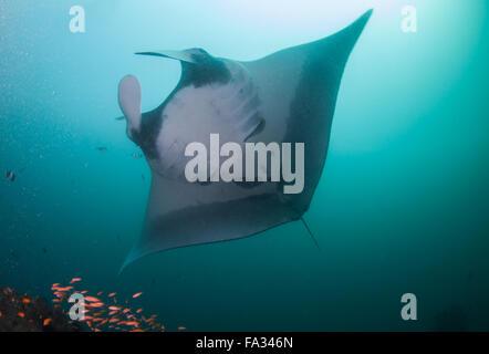 Una chiusura di un oceanic manta ray Foto Stock