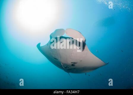 Un gigante oceanic manta ray overhead di nuoto Foto Stock