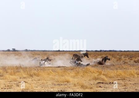 Zebra rotolamento su polverosi di sabbia bianca. Il parco nazionale di Etosha, Ombika, Kunene, Namibia. La vera Foto Stock