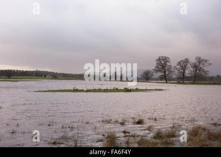 Drymen, Scotland, Regno Unito - 22 dicembre 2015: Regno Unito meteo. Pecore bloccati su un'isola circondata da campi Foto Stock