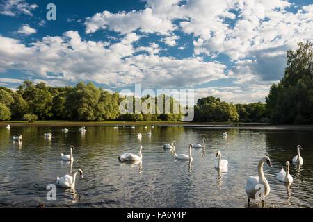 Cigni (Cygnus sp.), Delta de la Sauer, riserva naturale tra Munchhausen e seltz, Alsazia, Bas-Rhin, Francia