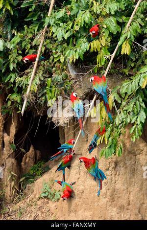 Rosso-verde macaw (Ara chloroptera), colonia su banca di creta, il Parco Nazionale del Manu, Perù Foto Stock