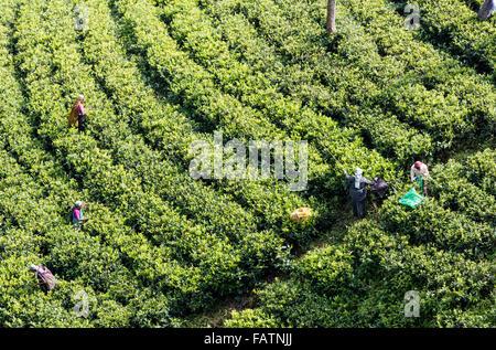 Donne Tamil tè di prelievo a tenuta di tè vicino a Hatton, Sri Lanka. Vista dalla collina sopra mostra filari di Foto Stock