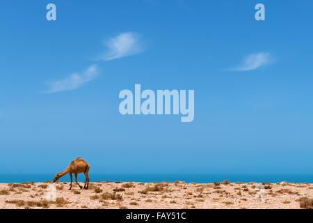 Un dromedario presso la costa atlantica con vista dell'oceano contro nuvoloso cielo blu. Foto Stock