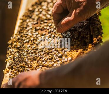 Apicoltore ispezione bee hive Foto Stock