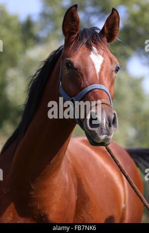 Colpo alla testa di un bel cavallo arabo con i cavi elettrici Foto Stock