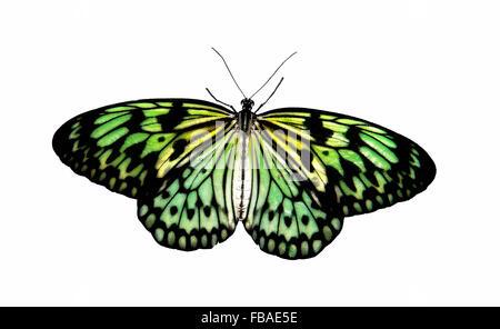 Farfalle tropicali Aurora in luce trasmessa, concept Foto Stock