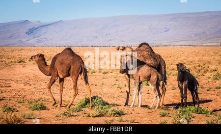 Bambini cammelli e madre, Marocco