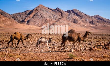 Bambini cammelli seguenti madre, Marocco