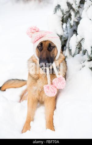 ... Pastore Tedesco cane indossando Cappello invernale e seduta sulla neve  Foto Stock 3effbe75a705