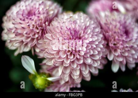 Pink Dahlia Josie Gott Foto Stock