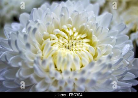 Crisantemo bianco Foto Stock