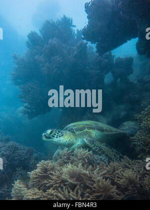 Corallo e tartaruga verde (Chelonia Mydas) Foto Stock